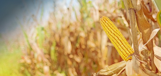 corn-stalk-crop-735-350-2