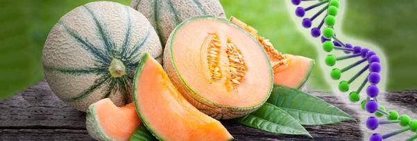 melon-dna-alpha-735-250