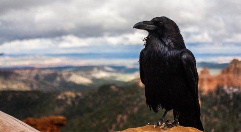 crow-728x400