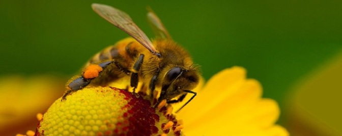 Governor of Minnesota Orders Restrictions on Bee-Killing Pesticides