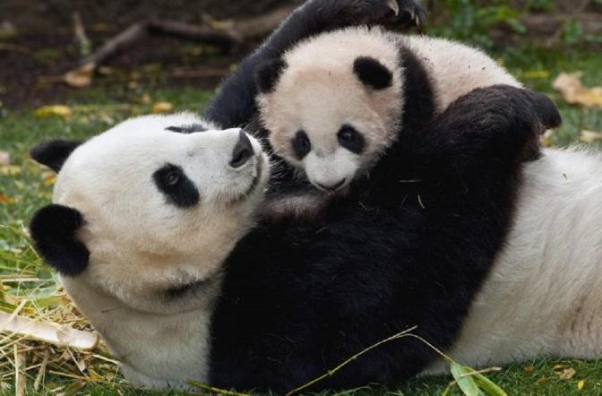 Symbol of Conservation: Giant Pandas No Longer An Endangered Species