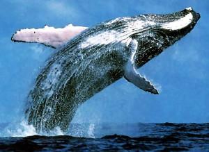 whale-breaching-300x219