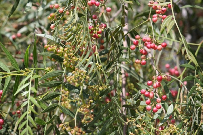 Nature Comes To The Rescue Again – Peppertree Disarms Most Dangerous Bacteria