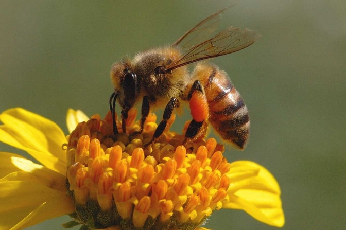 Key Report: Hundreds of Native Bee Species Buzzing Toward Extinction