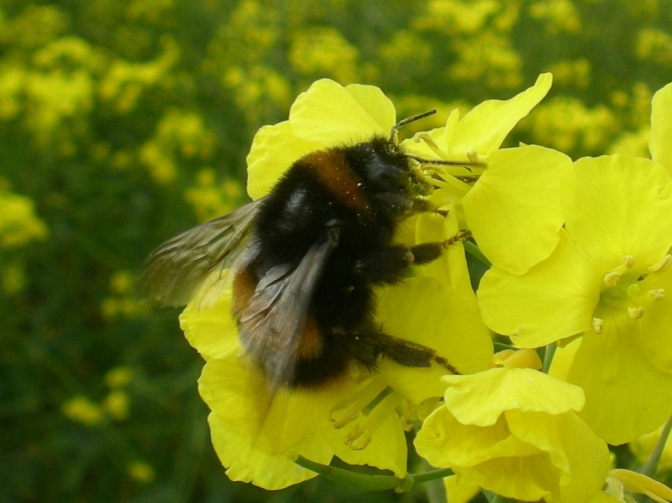 How Neonicotinoids Kill Spring Breeding for Bumble Bees