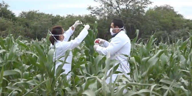 Illegal GMO Roundup Ready Corn Found Growing in Bolivia