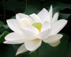 balance-of-a-blue-moon-flower