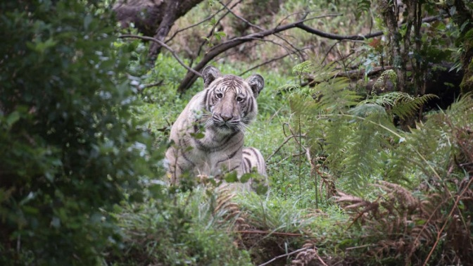 This Incredibly Rare 'Pale Tiger' May Be The Last Wild One On The Planet