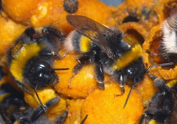 Pesticides Can Block Colony Formation in Bumblebees, Could Lead to Extinction: Study