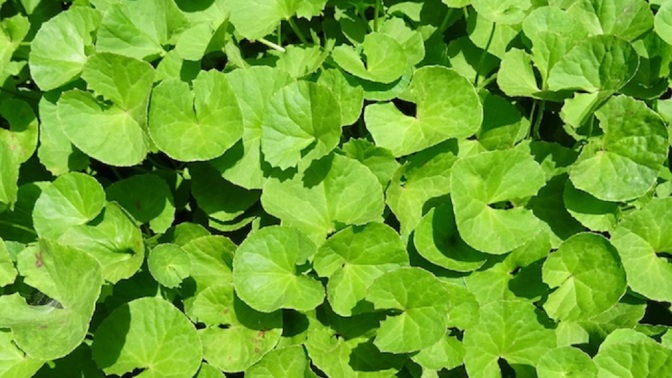Gotu Kola: A Dozen Proven Medical Benefits
