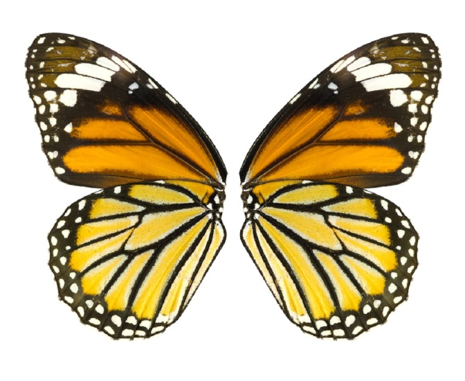 Government Considering Monarch Butterfly for Endangered Species List