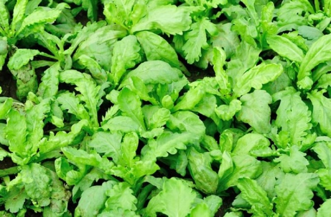 The Little-Known Chinese Herb That Destroys 12,000 Cancer Cells For Every Healthy Cell