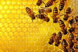 honeybees-pick-up-an-alarming-number-of-pesticides-from-non-crop-plants-purdue-researchers-find-359x240