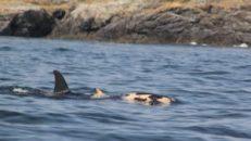 orcas-11-300x169
