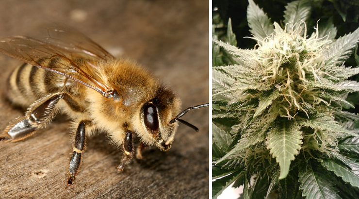 Bees Absolutely Love Cannabis and It Could Help Restore Their Populations  Bees-love-cannabis